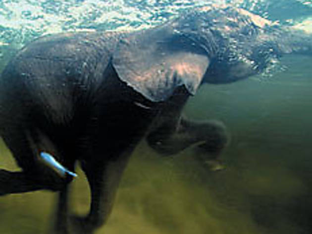 "SWIMMING TRUNK An Elephant cools down in ""Pole to Pole"""