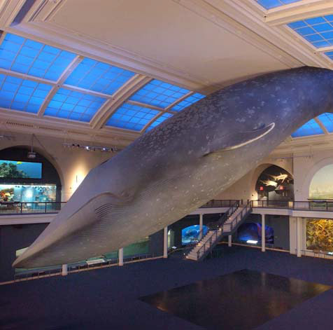 Have a whale of a time (sorry) at the American Museum of Natural History
