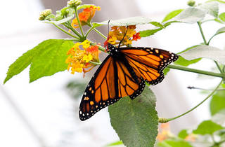 The Butterfly Conservatory: Tropical Butterflies Alive in Winter