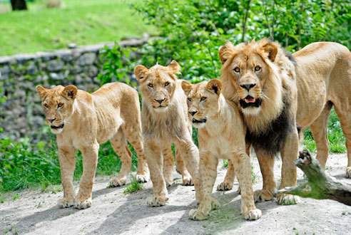 Lions at Bronx Zoo,Pictured left to right: Nala (female), Shani (male), Adamma (female) and M'wasi (father)