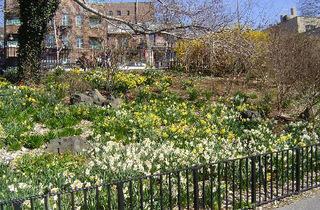 Narrows Botanical Garden  Daffodils