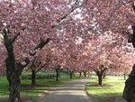 Sakura Matsuri Festival; Photograph: Courtesy Brooklyn Botanic Garden/Joseph O. Holmes