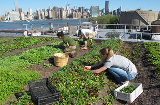 Become a farmer for a day at Eagle Street Rooftop Farm
