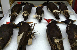AMERICA'S GOT TALONS Various woodpecker specimens show their claws.