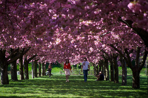 Five places to see the cherry blossoms in New York