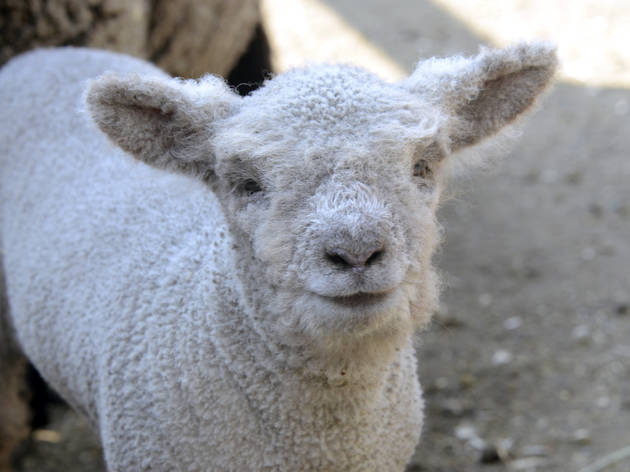 The Central Park Zoo's new babydoll lamb