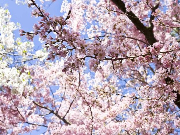 Cherry Blossom Season At The Brooklyn Botanic Garden Things To Do In New York