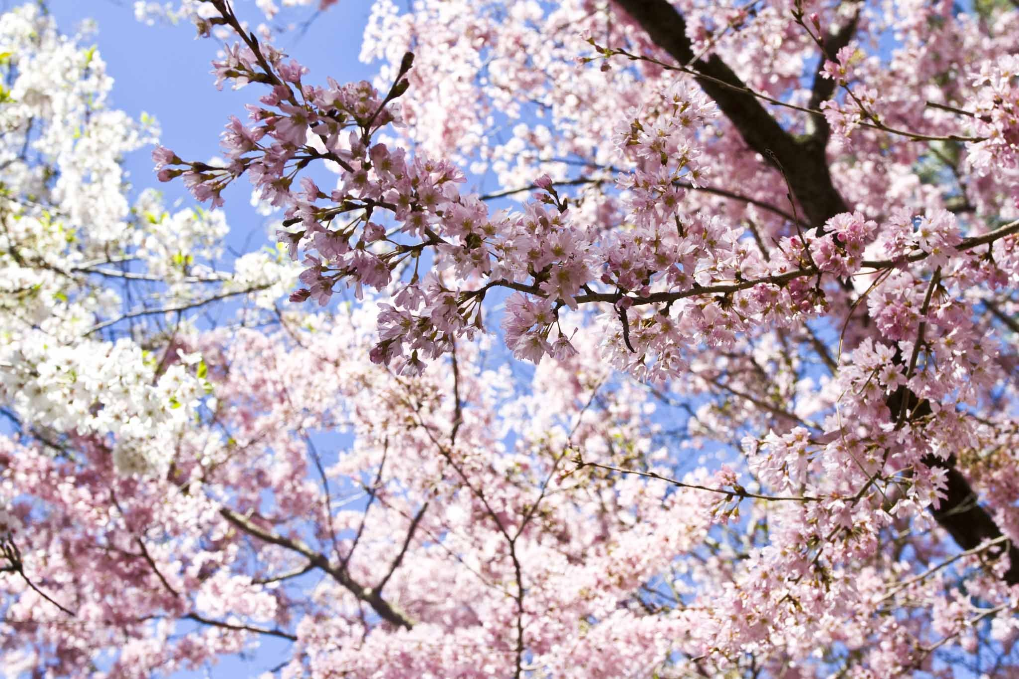 Cherry Blossom Season at the Brooklyn Botanic Garden