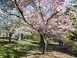 101 things to do in the spring in New York City 2013: Stop and smell the cherry blossoms at Hanami
