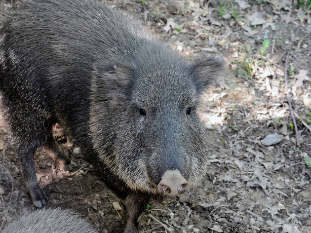 Chacoan peccary (Photograph: Julie Larsen Maher © WCS)