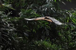 Indian fruit bats (Photograph: Julie Larsen Maher © WCS)