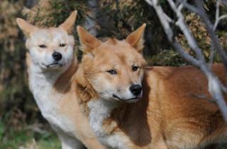 Dingos (Photograph: Julie Larsen Maher © WCS)