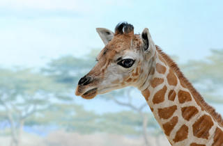 Baringo giraffe calf (Photograph: Julie Larsen Maher © WCS)