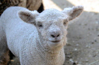 Babydoll lamb (Photograph: Julie Larsen Maher © WCS)