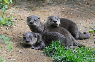 North American river otters (Photograph: Julie Larsen Maher © WCS)