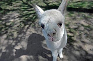 Baby alpaca (Photograph: Julie Larsen Maher © WCS)