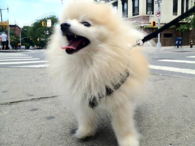Tommy the Pomeranian (Photograph: Mackenzie Kosut)