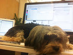 Name: GroverBreed: Morkie (Maltese–Yorkshire terrier)Office: Huge (hugeinc.com)Title and duties: Cuteness coordinator