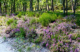 (Forêt de Fontainebleau, bruyère sauvage / © Time Out Paris - C.G.)