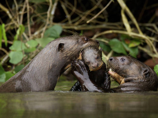 Natural World: Giant Otters of the Amazon