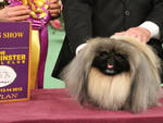 Malachy, Best in Show winner at the Westminster Kennel Club Dog Show 2012