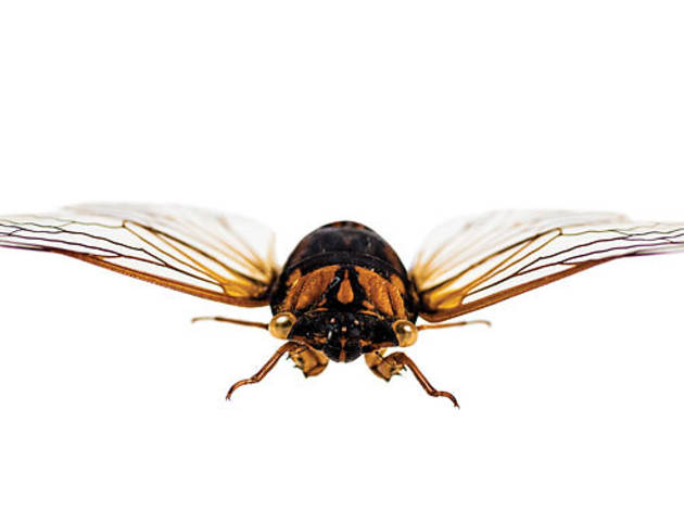 """They're Baaack! Return of the 17-Year Cicadas"""