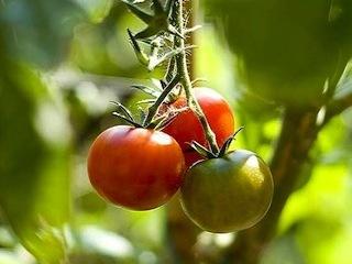 Légume des jours : cueillette à Cergy