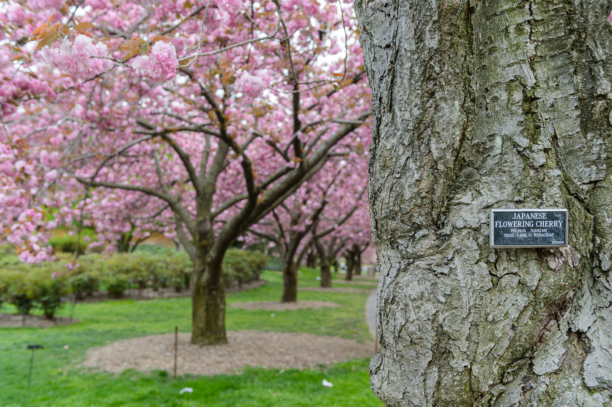The first cherry blossom is out at Brooklyn Botanic Garden! (2014)