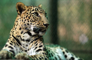 Natural World - Leopards 21st Century Cats