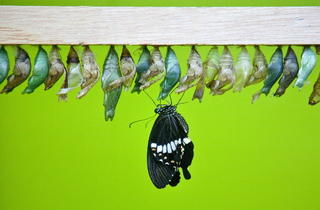 Butterfly and Cocoons (Kevin Webb/NHM Image Resources)