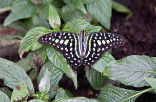 Sensational Butterflies  (Kevin Webb/NHM Image Resources)