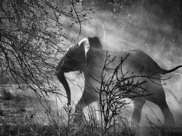 Hunted elephants (© Sebastião SALGADO / Amazonas i)