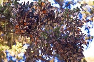 Ellwood Butterfly Grove
