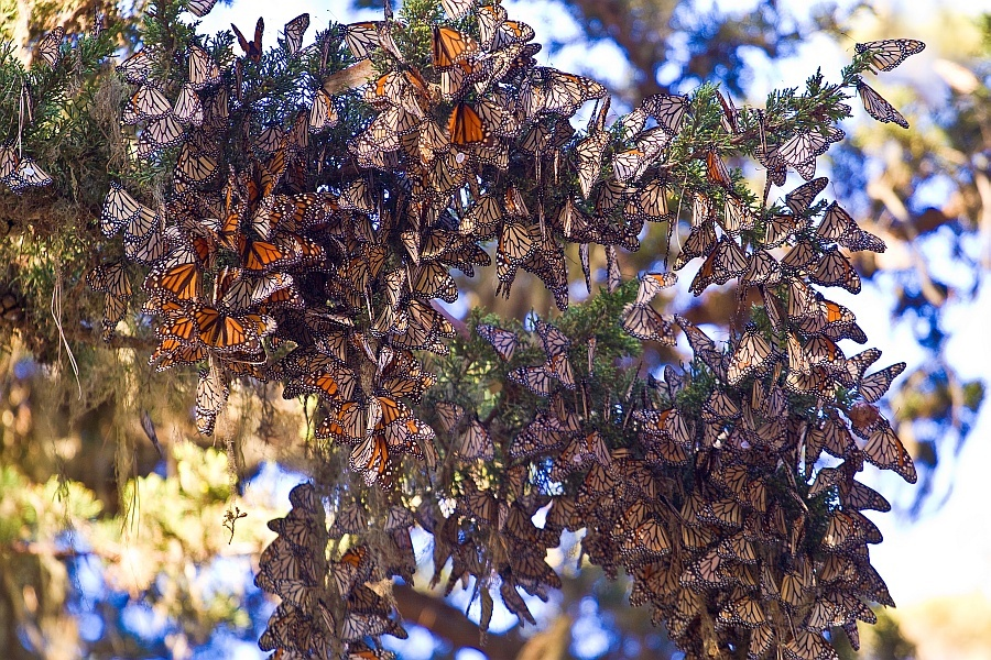 For butterfly beauty: Ellwood Butterfly Grove