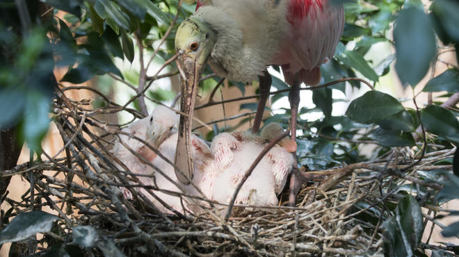 Two spoonbill chicks hatched at the Bronx Zoo, pictured with their mother