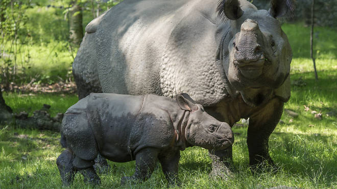 Indian rhino calf at the Bronx Zoo