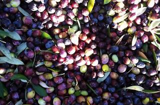 Ojai olives.