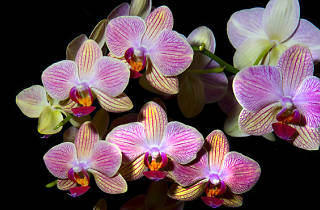 Fascination of Orchids Show and Sale
