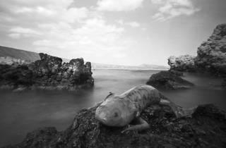 El axolote (Foro: Daniel Mendoza Alafita )