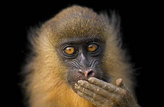 Bioko Island, Equatorial Guinea │ 2008: A five-month-old mandrill (Mandrillus sphinx) reacts to a visitor near a bushmeat market in Malabo, a city on Bioko Island in Equatorial Guinea.  This animal was brought over from mainland Africa, most likely as an