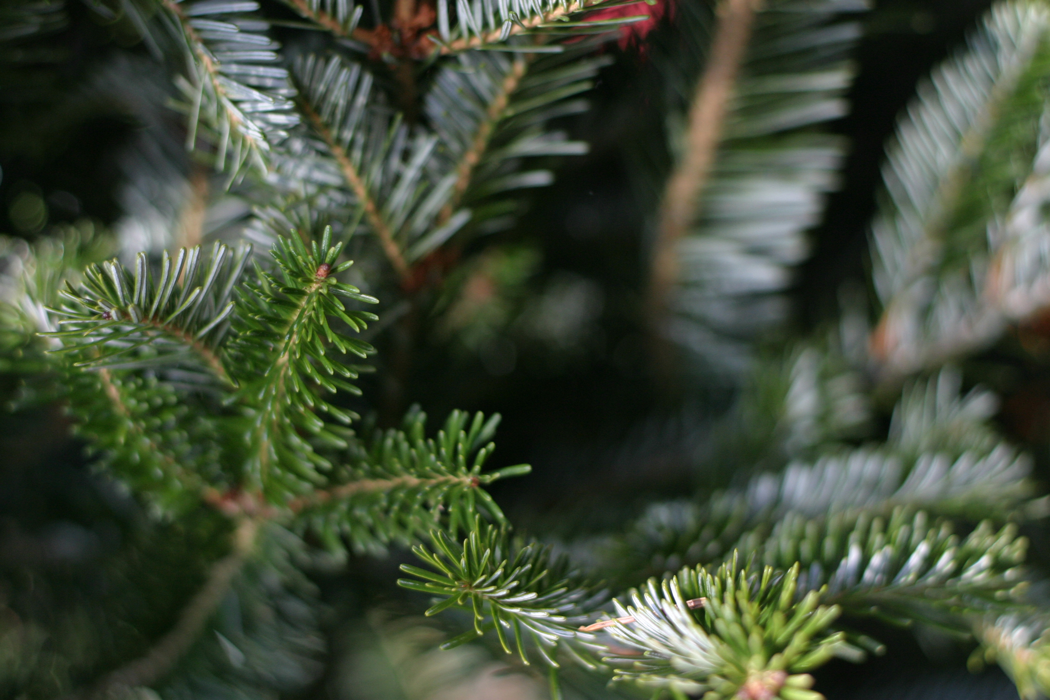 Know your Christmas trees