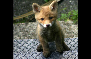 'Fox cub on steps'