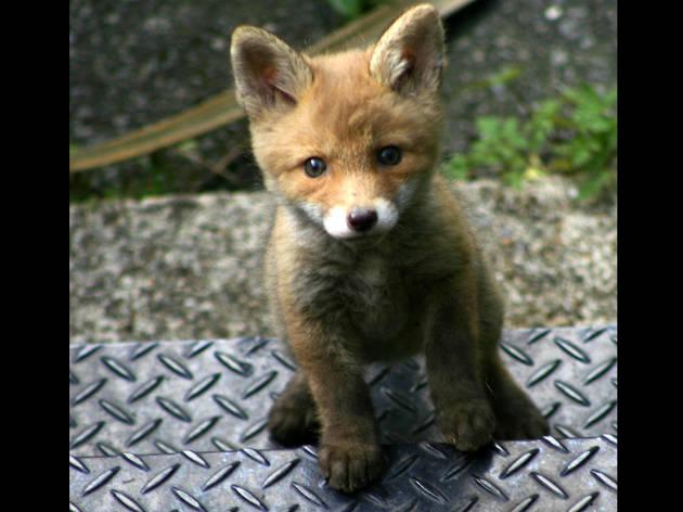 'Fox cub on steps'