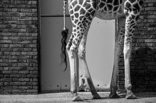 'Giraffe legs, London Zoo'