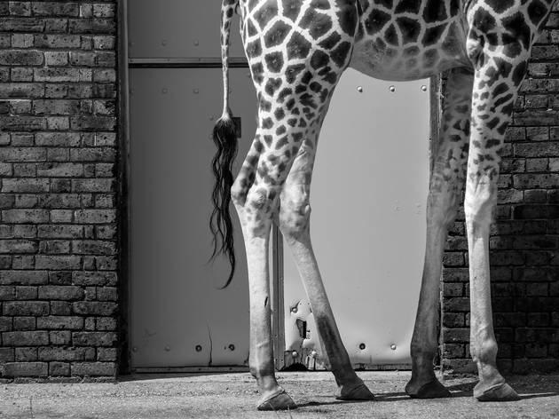 'Giraffe legs, London Zoo'