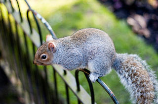 'Kensington squirrel'