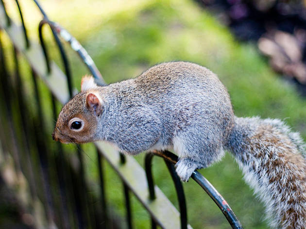 'Kensington squirrel'