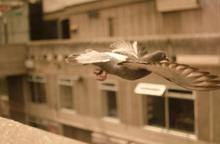 'Pigeon on the wing'