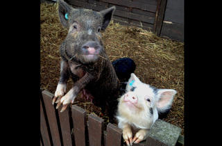 'Kew pigs'