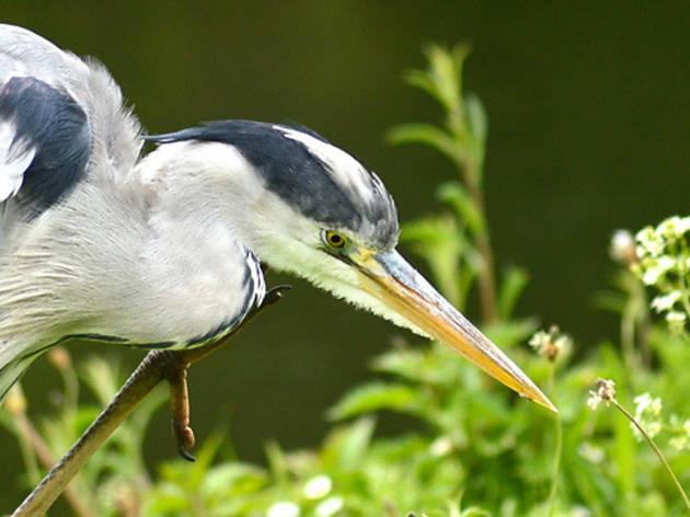 'Heron, Regent's Park'